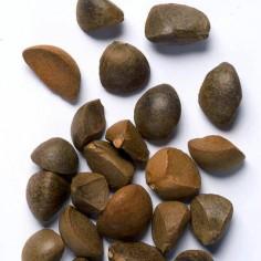 Камелия сасанква