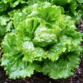 Салат кучерявый махровый